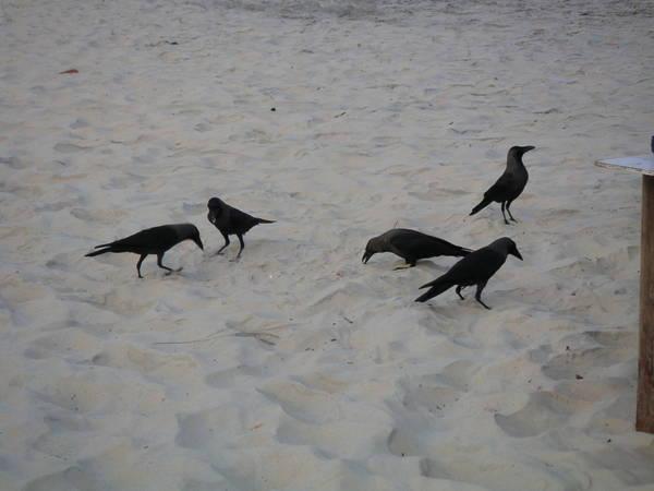 Вороны прикидываются гуляющими