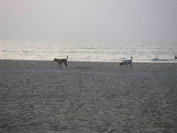 Индусские собаки