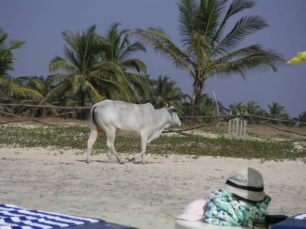 Индусские священные коровы тоже загорают