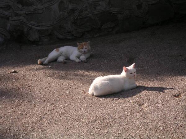 Южнобережные саблезубые коты