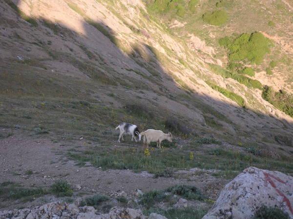 Балаклавские горные козлы